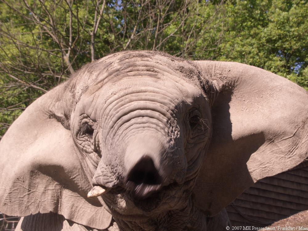 Elefant stink sauer