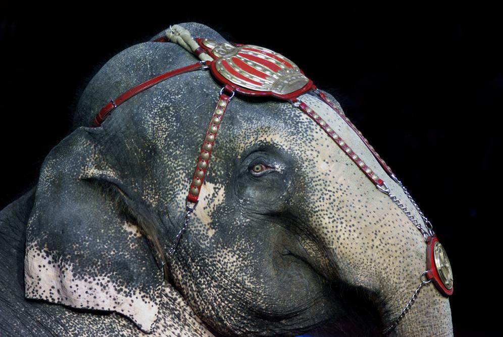 Elefant, Zirkus Krone Silvester