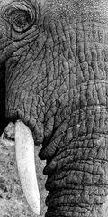 Elefant01