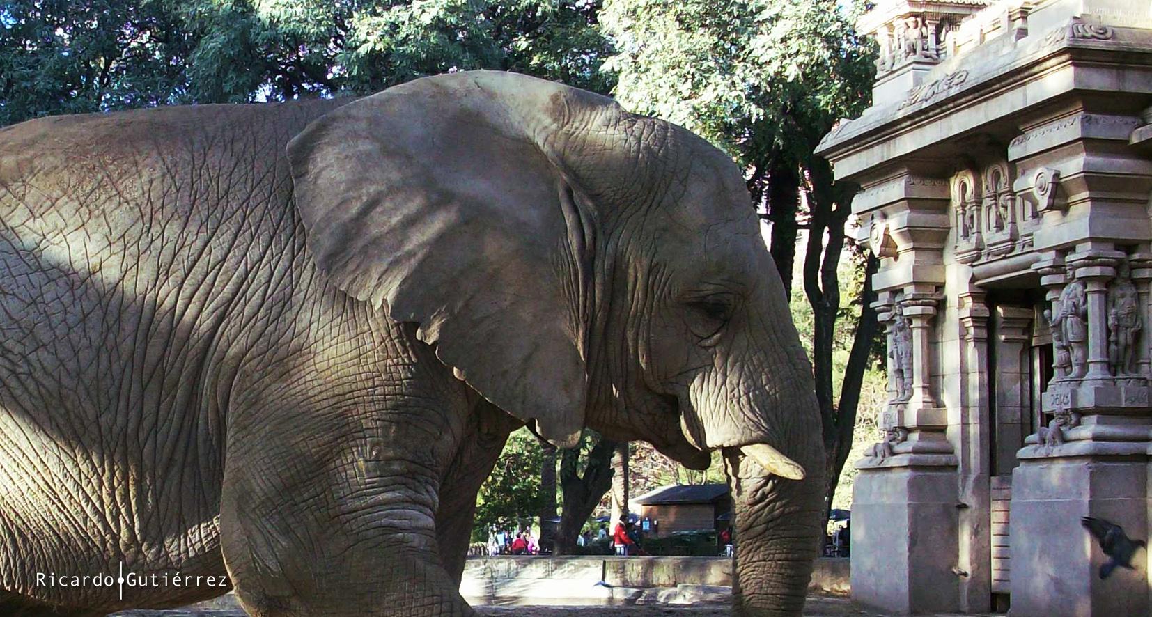 Elefante Argentino