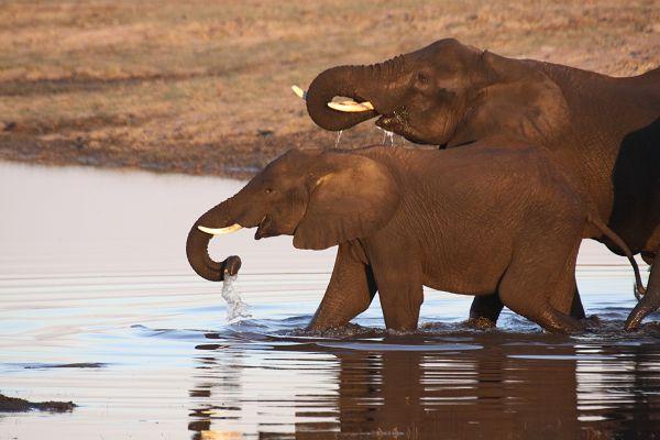 Elefanten am Chobe River