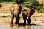 Elefanten an der Wasserstelle im Addo Nationalpark in Südafrika