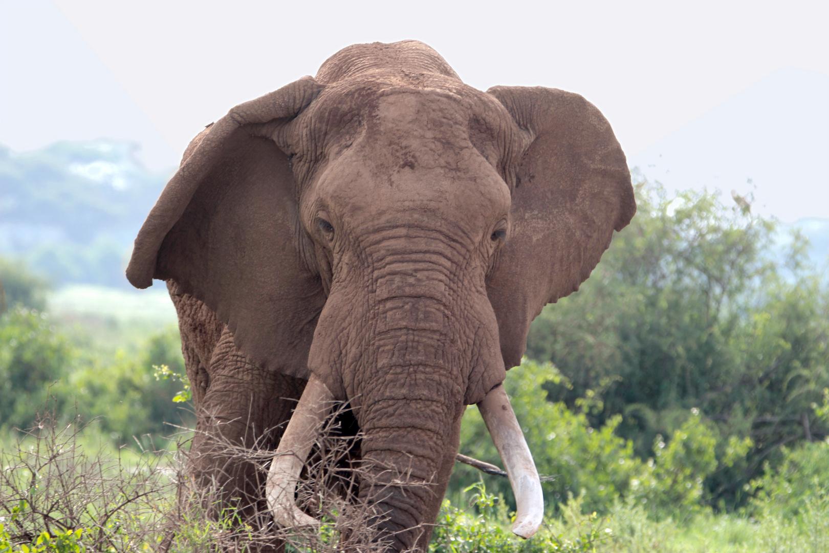 elefanten-bulle im nationalpark amboseli, afrika foto