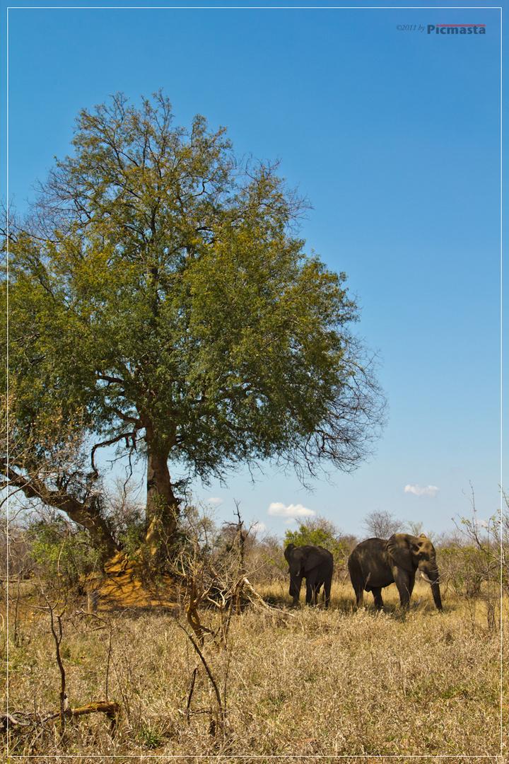 Elefanten im Kruger National Park, Südafrika, Oktober 2011