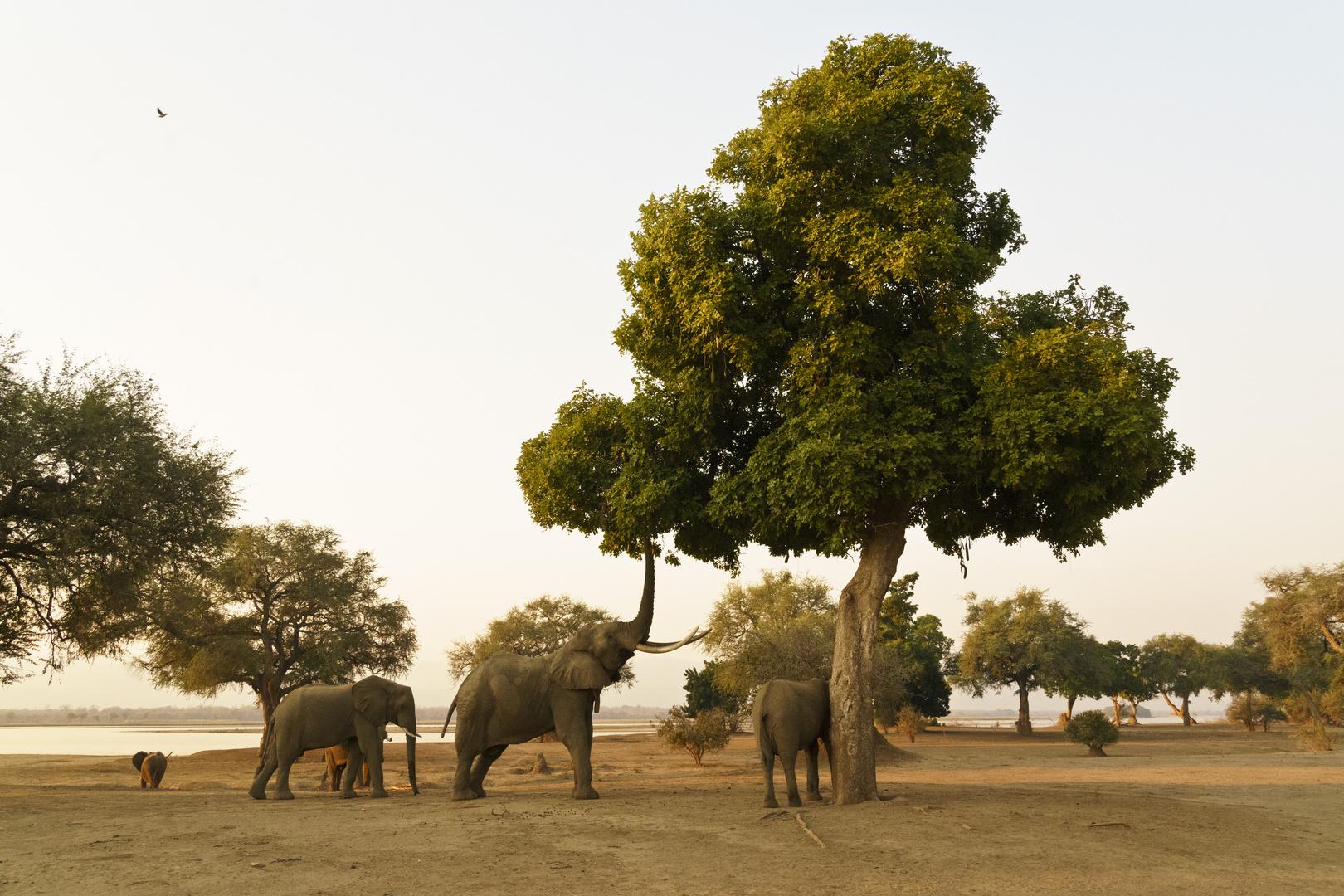 Elefanten im Mana Pools NP, Zimbabwe, 21.09.2019