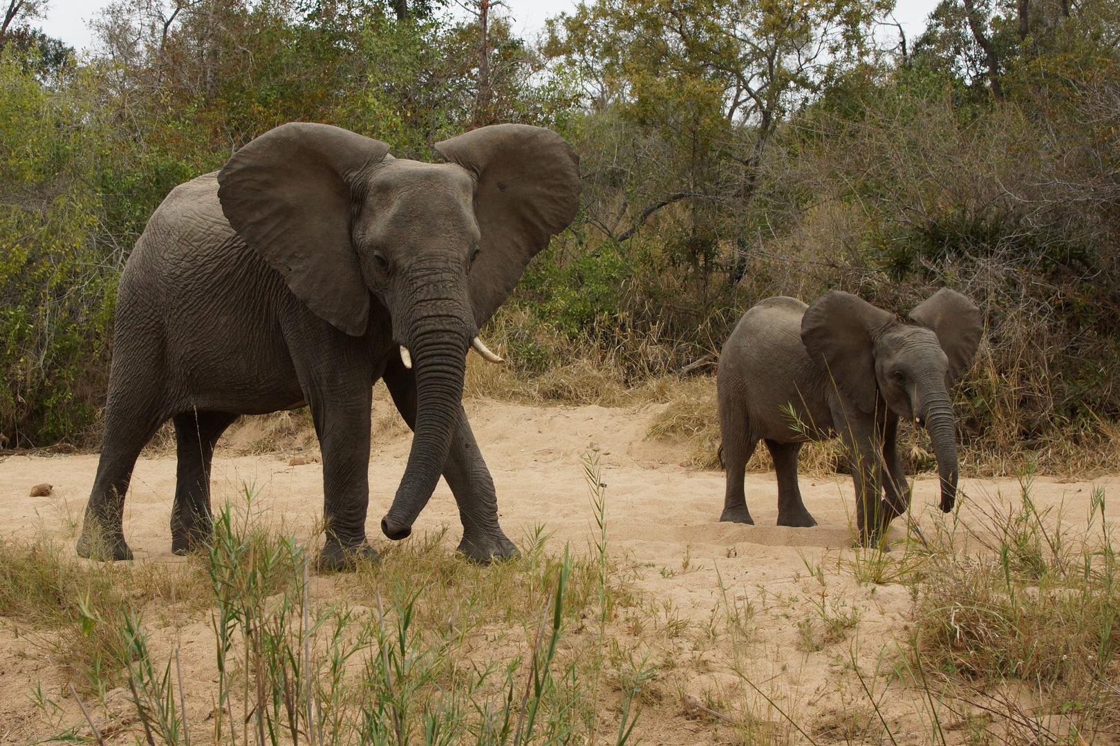 Elefanten in Abwehrstellung