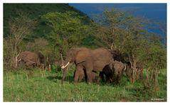 Elefanten in der Abendsonne, nach einem heftigen Regen.