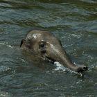 Elefanten Jungtier beim planschen im hauseigenen Pool