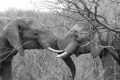 Elefanten spielen