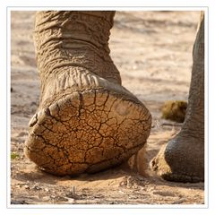 Elefantenfuß