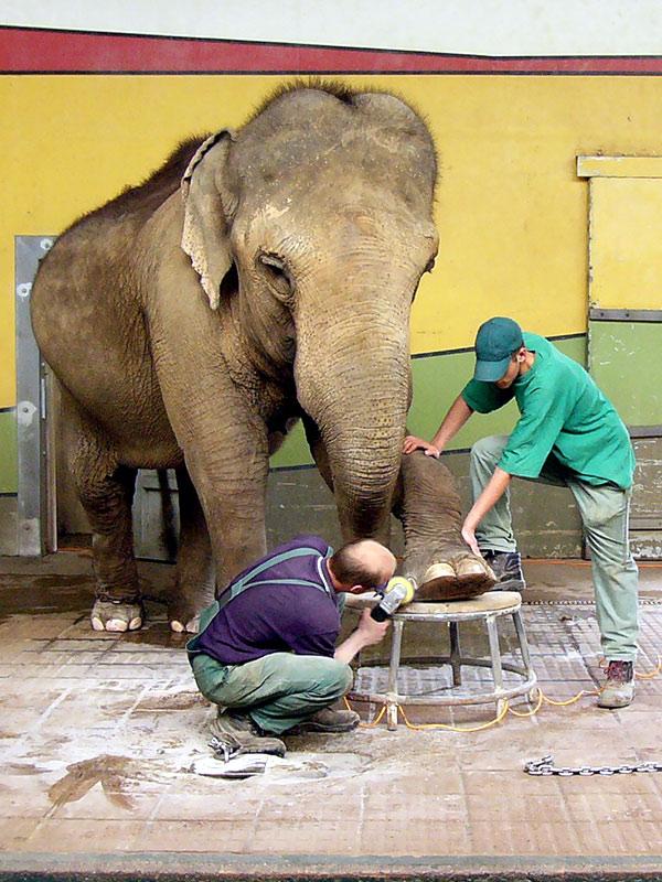 Elefantenfußpflege in Gesamtansicht
