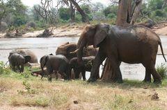 Elefantengruppe in der Massai Mara (März 2007)