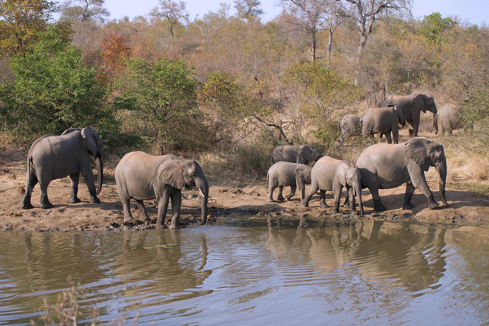 Elefantenherde an der Tränke