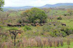 Elefantenherde auf Wanderschaft