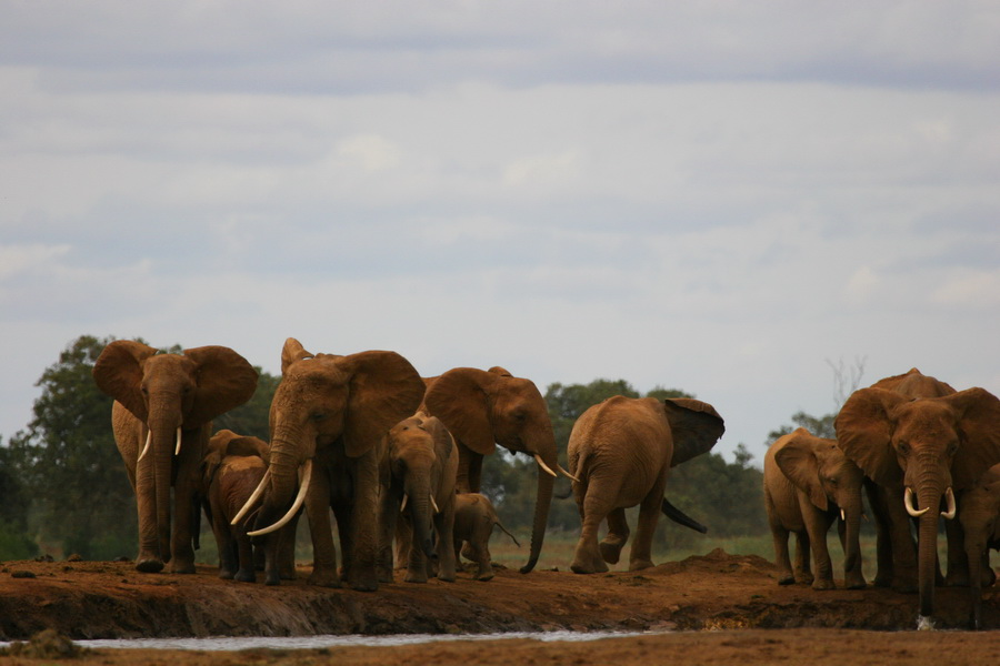 Elefantenherde im Tsavo Nationalpark