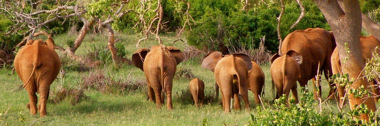 Elefantenherde in Tsavo East