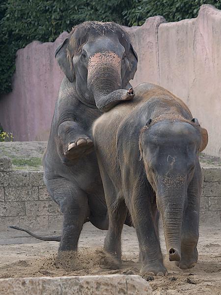 Elefantenhochzeit