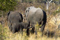 Elefantenkind auf Nahrungssuche im Mamili Nationalpark