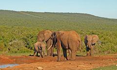 Elefantenleben im Addo