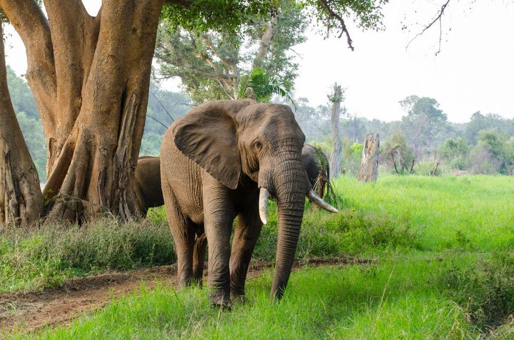 Elefantenleitkuh am Karongwe