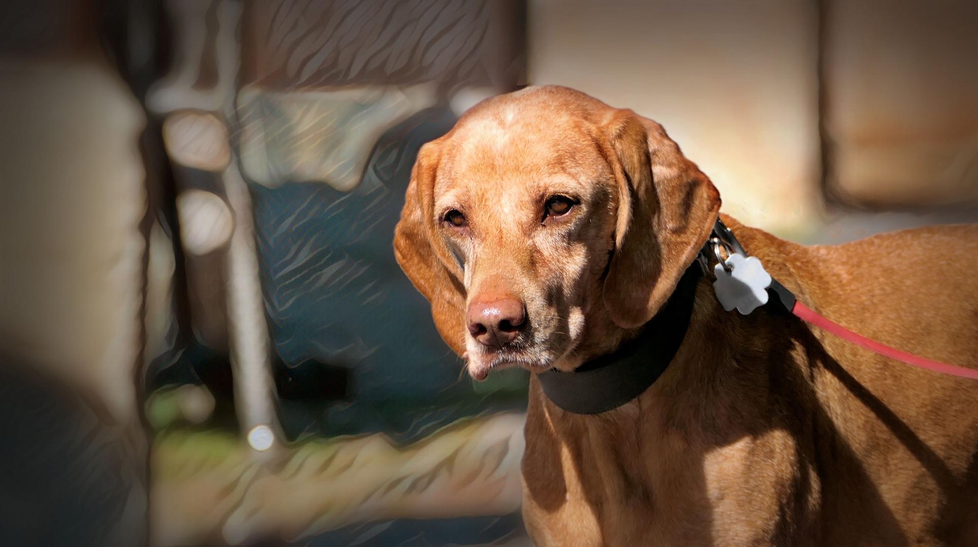 ...  elegant old dog