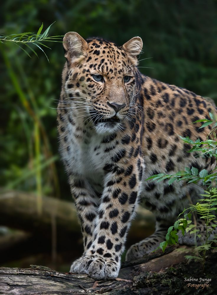 Eleganter Leopard