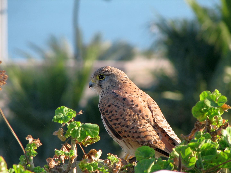 Eleonora's Falcon in Morocco
