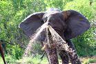 Elephant blowing