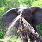 Elephant blowing