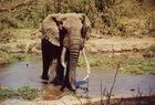 Eléphant d'Afrique, Kimana, Kenya
