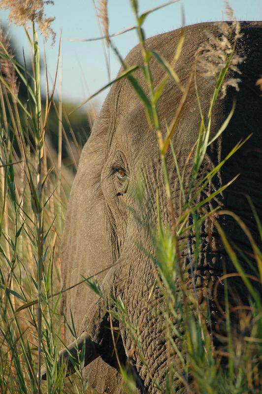 Elephant im Dickicht
