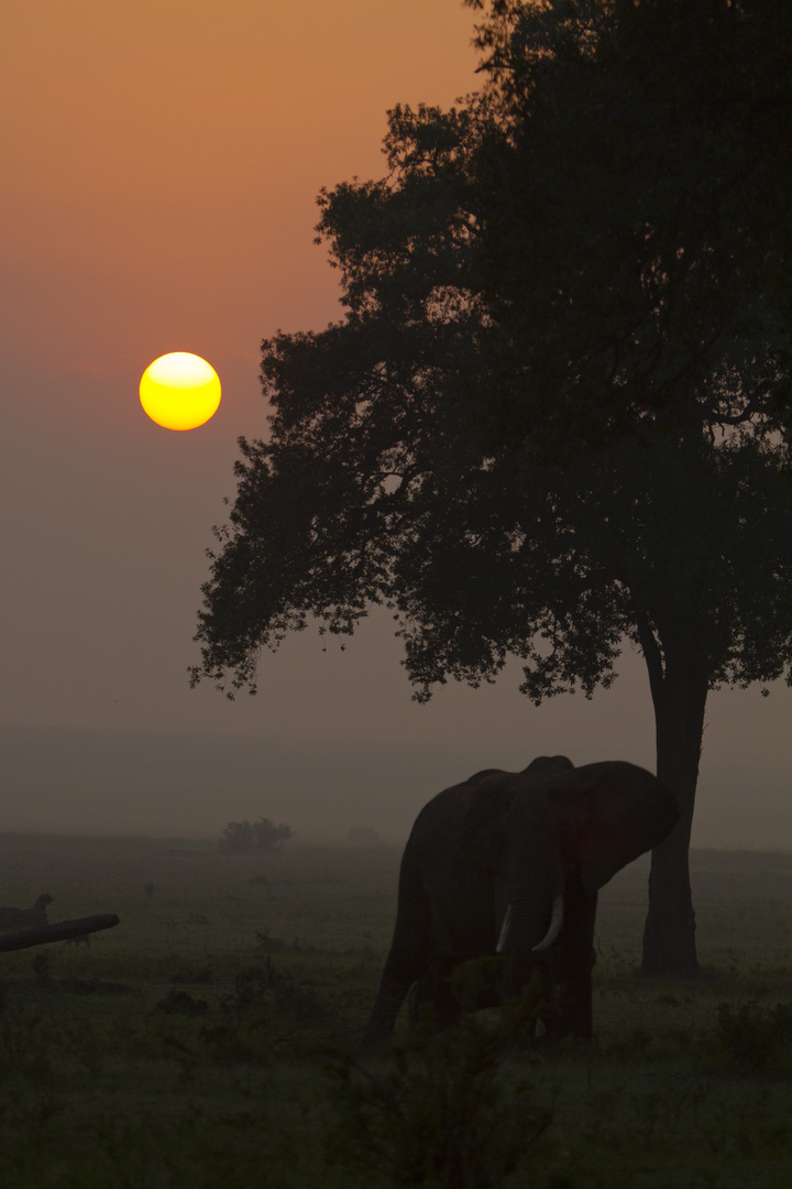 Elephant, Masai Mara