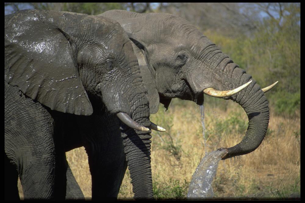 Elephanten im Kruger Nat. Park