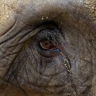 Elephantenauge