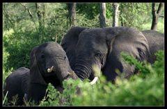 ... Elephants in Queen Elizabeth NP, Uganda ...