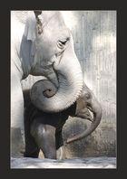 Elephas maximus.