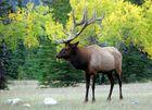 Elk (Waipitihirsch) @Jasper