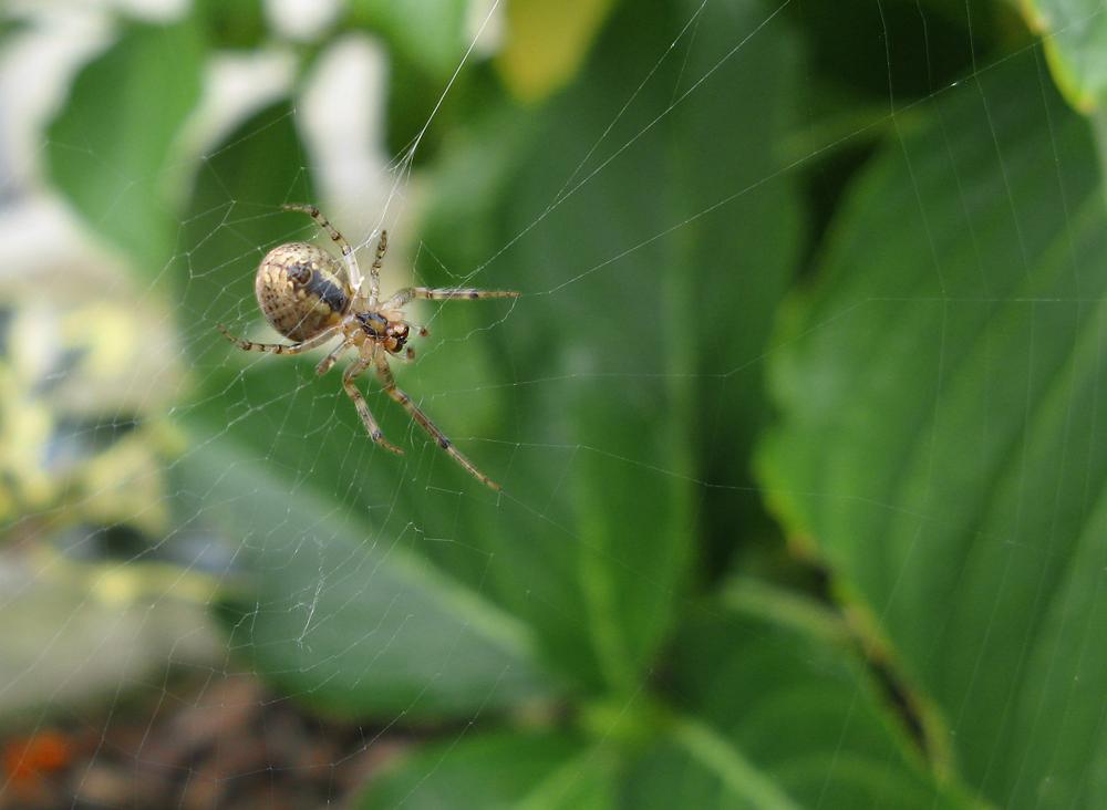 Ella, la araña