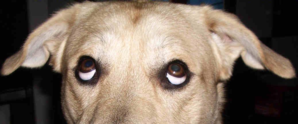 Hund Verdreht Augen