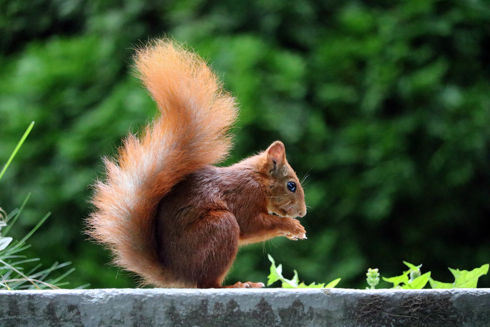 Emil das Eichhörnchen II