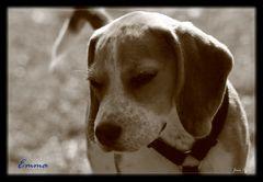 Emma unser Beagle