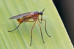 Empididae, Empis trigramma (mâle)