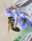 Emsige Honigbiene!