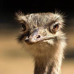 *Emu*