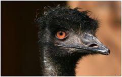 Emu, ganz nahe an der Linse !