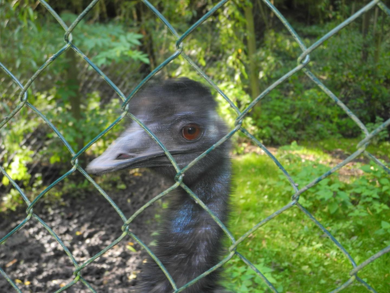 Emu hinter Gittern