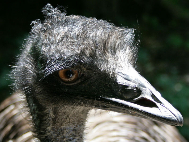 Emu im Schonbrunn
