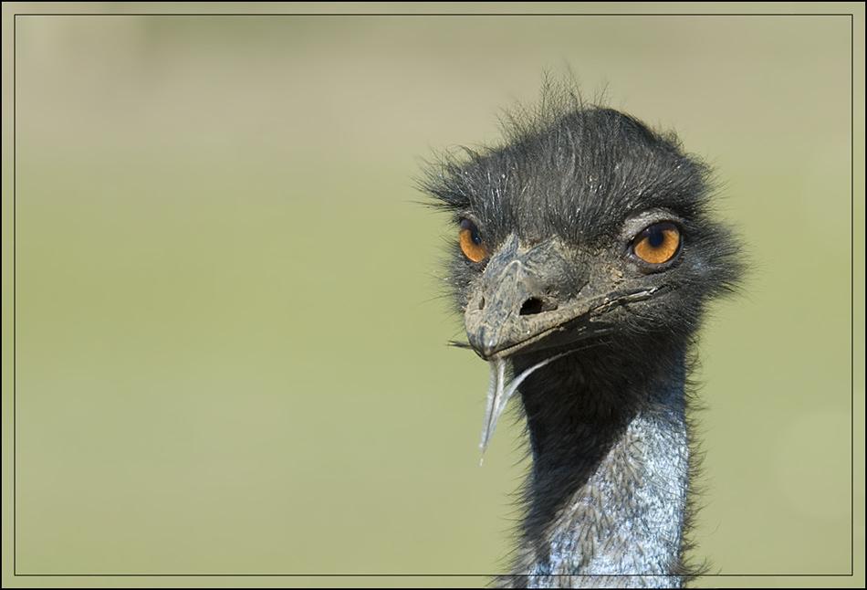 Emu Model