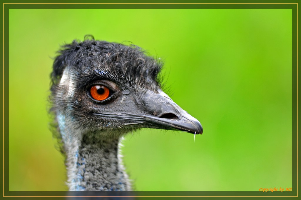 "Emu""Auge um Auge..."""