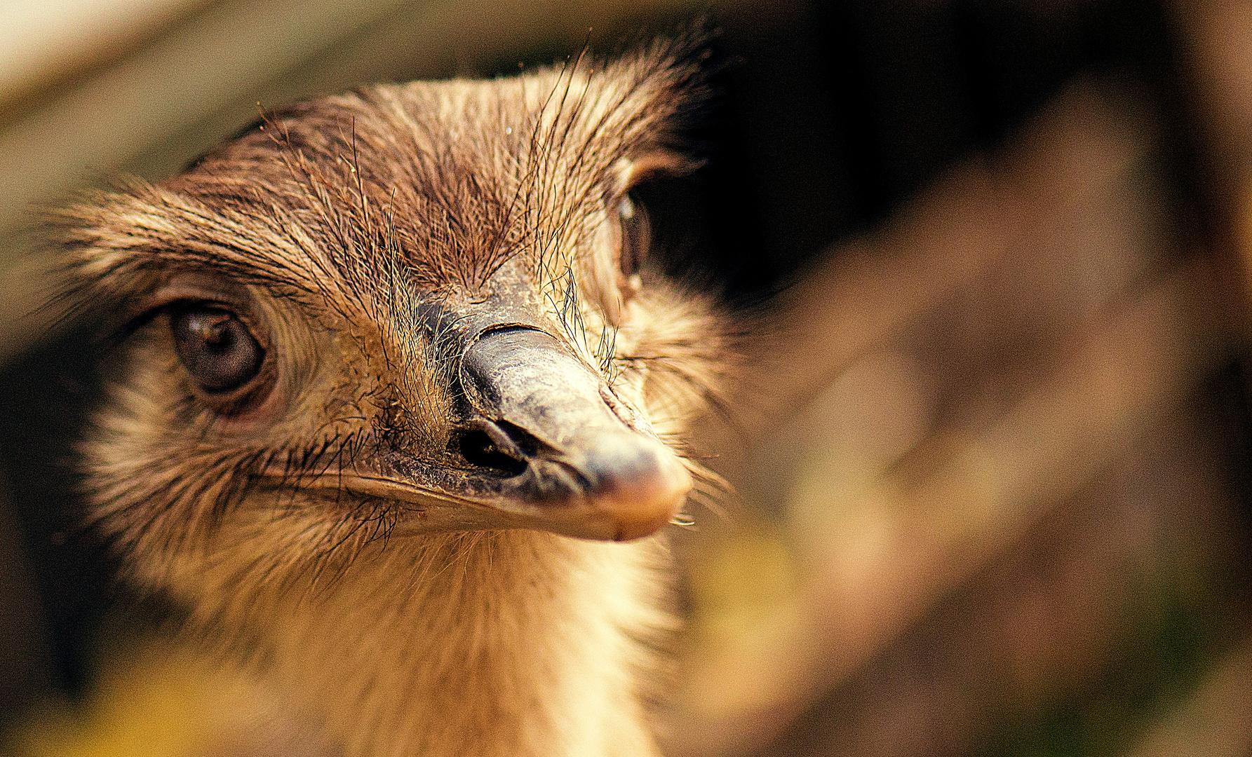 Emus in Krefeld